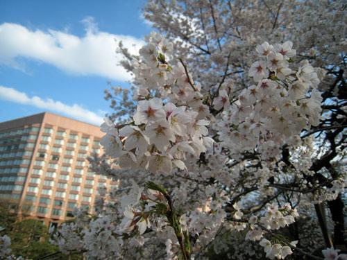 椿山荘の桜